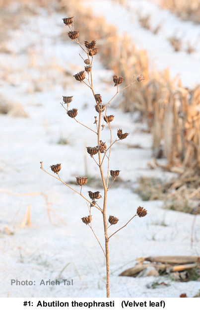 Abutilon theophrasti in winter