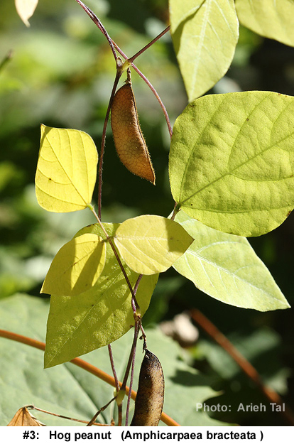 Amphicarpaea bracteata in fall