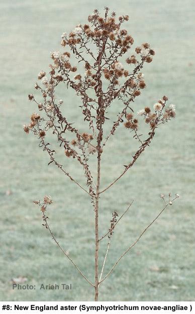 Symphyotrichum novae-angliae in winter