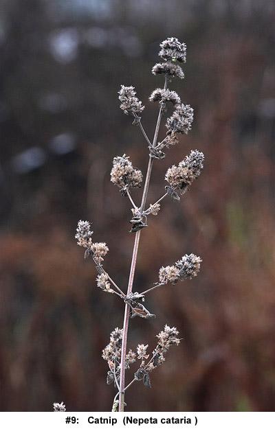 Nepeta cataria in winter