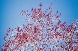 Red Maple in Flower