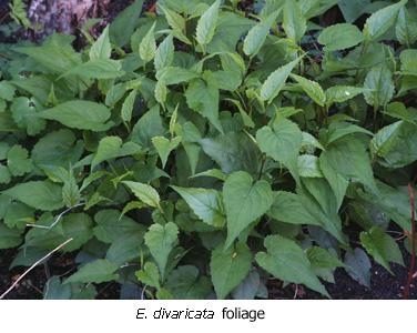 Eurybia divaricata foliage