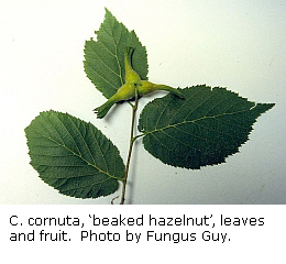 Corylus cornuta leaf fruit