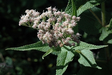 Close up of Eupatorium perfoliatum flower