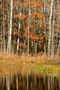 Oak amongst birches