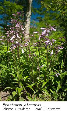 Penstemon hirsutus plant