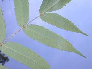 Rhus typhina leaf