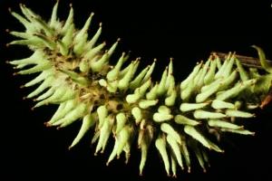 "Salix catkin ""female"" pistillate"