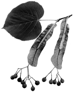 tilia americana seeds