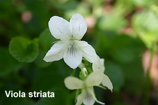 Viola striata