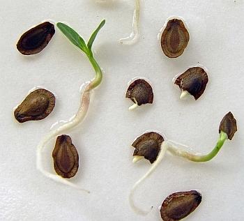 asclepias incarnata seeds germinating