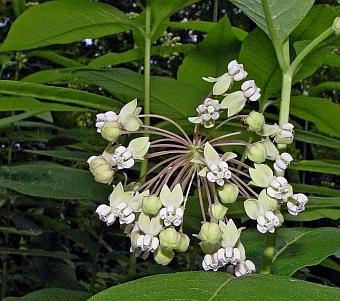 asclepias exaltata flower