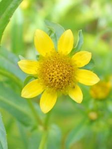 Bidens laevis flower closeup