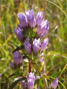 Gentiana quinquefolia flower closeup