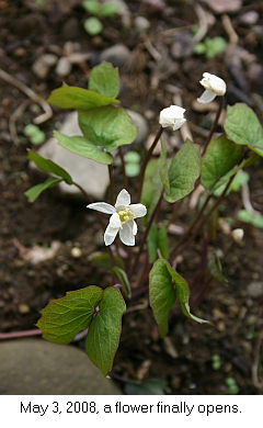 Jeffersonia diphylla in bloom