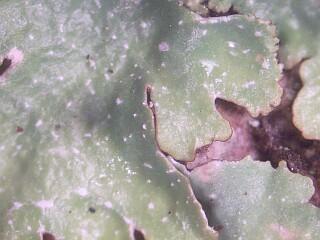 lichen punctelia