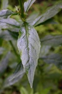 Lobelia cardinalis leaf closeup