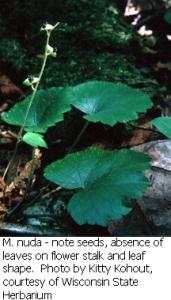 Mitella nuda in flower