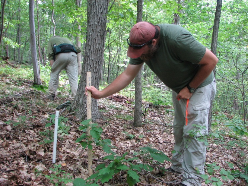 measuring saplings for deer browse