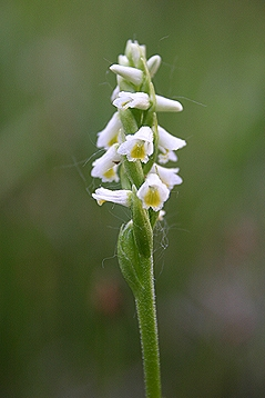 Spiranthes lucida flower