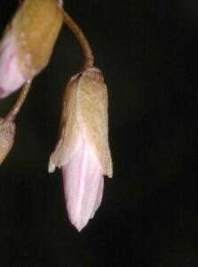 Spring Beauty bud closeup