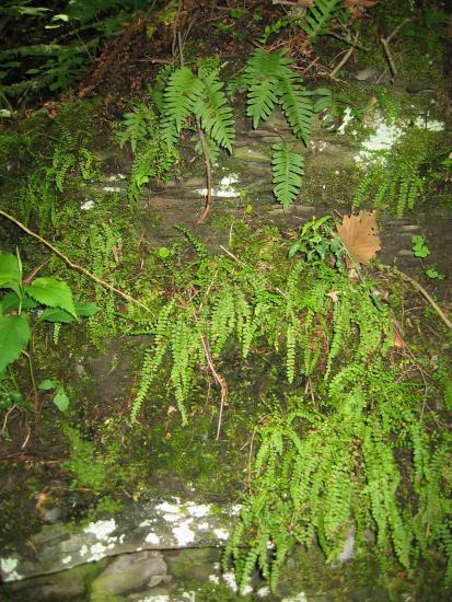 common polypody (top) and maidenhair spleenwort (bottom) in typical habitat