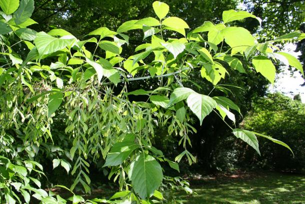 Boxelder leaves are often confused with poison ivy.