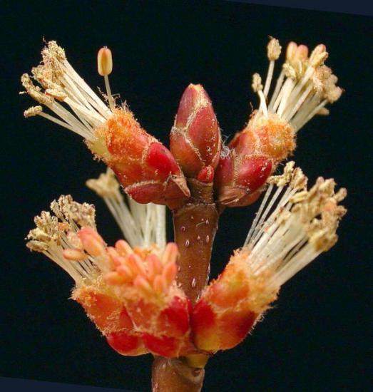 Silver maple male flower med