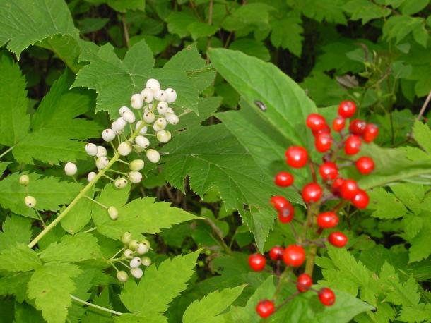Red baneberry can be white, but the pedicels are too thin to confuse with Doll's eyes, A. pachypoda.