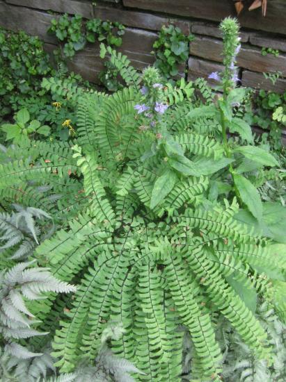 Adiantum pedatum in garden with painted fern