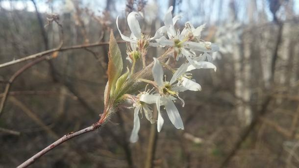 Downy serviceberry lives up to its name. Taken in Chemung Co. NY