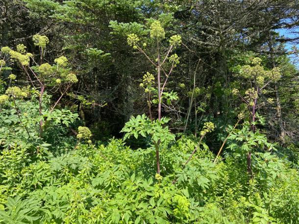 Angelica - tall, red-stemmed, striking in flower. (Taken in Vermont)