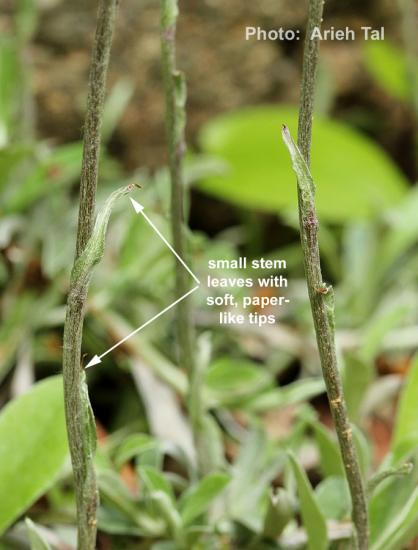 Stem leaves of field pussytoes. Note soft, paper-like tips. (i.e., leaf tips not hard points.)