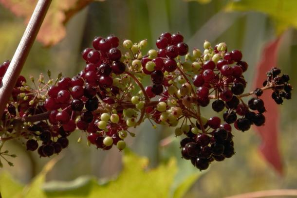 American spikenard fruit in Gatineau Park, Quebec