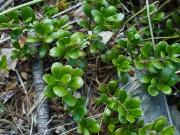 Bearberry, Muskellunge  Lake, NY