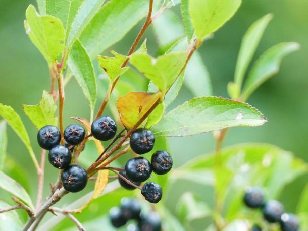 black chokeberry fruit, Allen Pond, NY