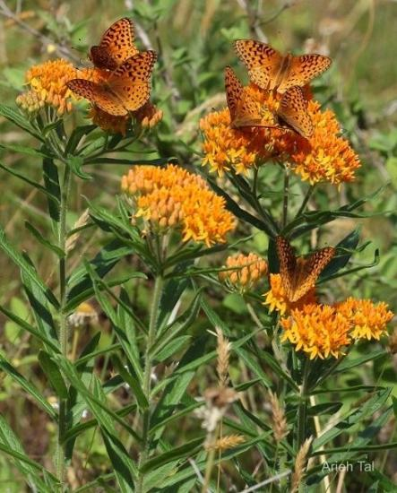 Fritillaries on Butterfly weed - Asclepias tuberosa