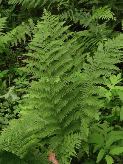 Northern lady fern
