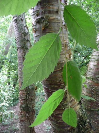 Attractive bark of yellow birch.
