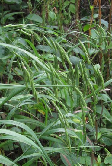 Bromus altissimus seed-head