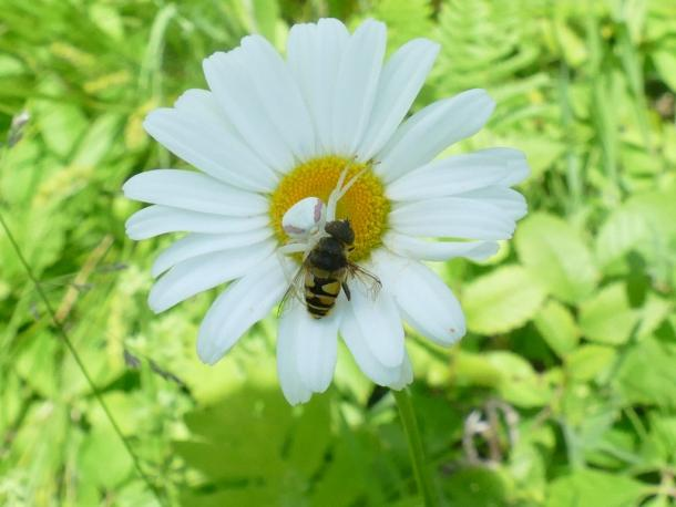 Oxeye daisy with visitor and resident crab spider. St. Lawrence Co, NY