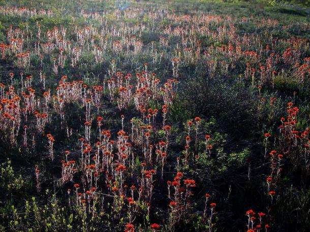 Unusual view in the east, a field of Indian paintbrush, Bruce Peninsula, Ontario
