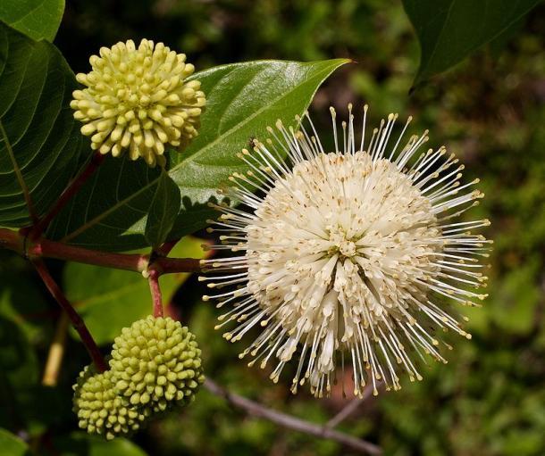 Closeup of Buttonbush flower.