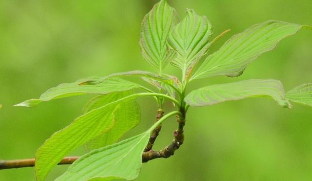New leaves of alternate leaved dogwood.