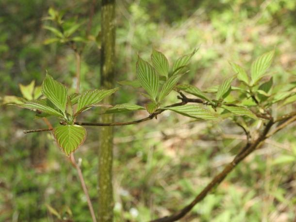 """Strong veins and reddish tinge help with ID, as the """"alternate-leaved"""" trait is subtle."""