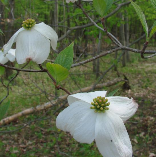 Rounded petals of native flowering dogwood.