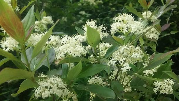 Grey dogwood flowers. Note the reddish tinge to new leaf.