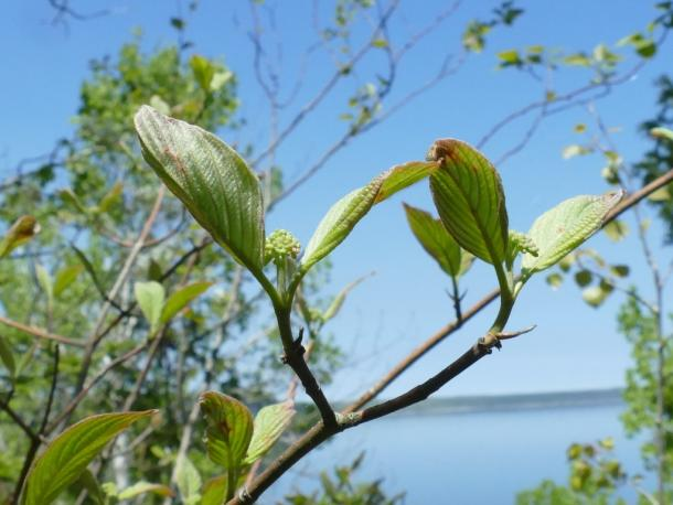 Round leaved dogwood leaves & early buds.