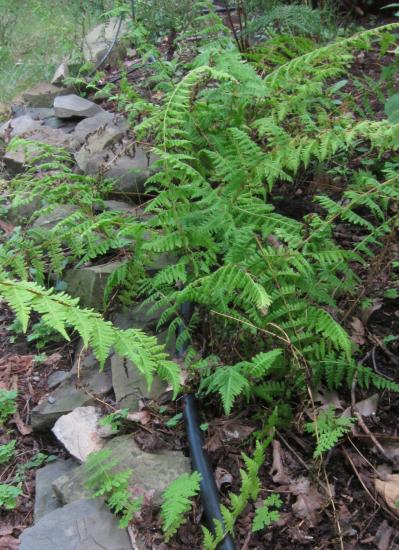 Bulblet fern in garden with new plants spreading via bulblets
