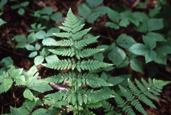 Dryopteris carthusiana frond